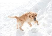 squawdog-squaw-avalanche-rescue-dog